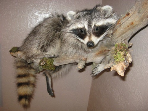 Raccoon lifesize mount; Aberdeen, SD (FOR SALE: $400)