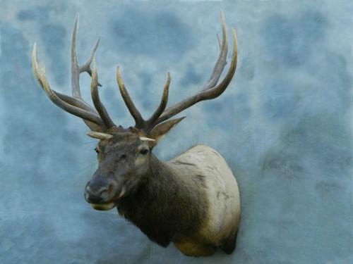 Elk game head mount - antler through skull from fight; Webster, SD