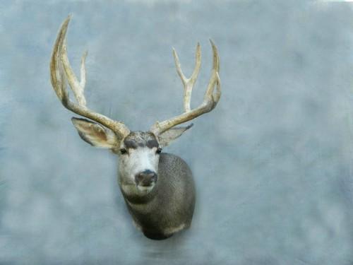 Mule deer game head shoulder mount; Aberdeen, SD