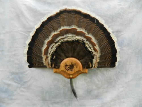 Turkey tail fan mount; Vail, Colorado