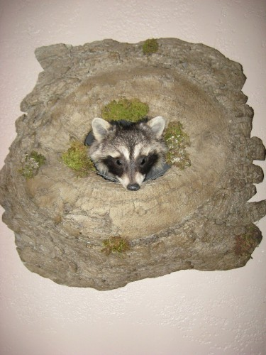 Raccoon mount; Sisseton, South Dakota