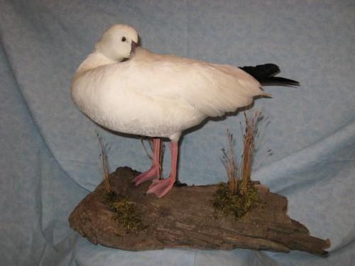 Preening ross goose mount; Aberdeen, South Dakota