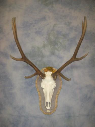 Elk European skull mount with artificial skull; Gunnison, Colorado