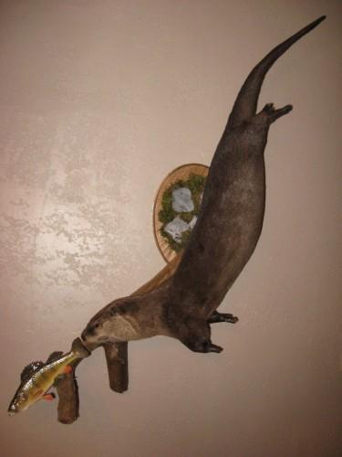 Otter mount chasing perch; Missouri