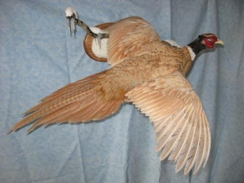 Buff ringneck pheasant mount; Watertown, South Dakota