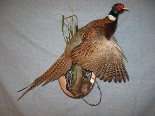 Ringneck pheasant mount; Aberdeen, South Dakota