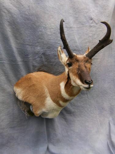 Antelope shoulder mount; Denver, Colorado