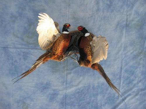 Fighting ringneck pheasants mount; Sioux Falls, South Dakota