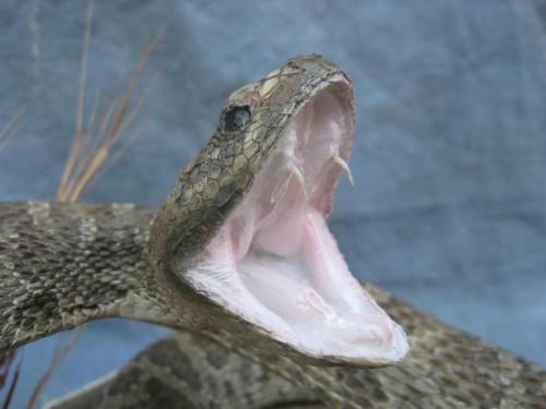 Diamondback rattlesnake mount; eastern Colorado