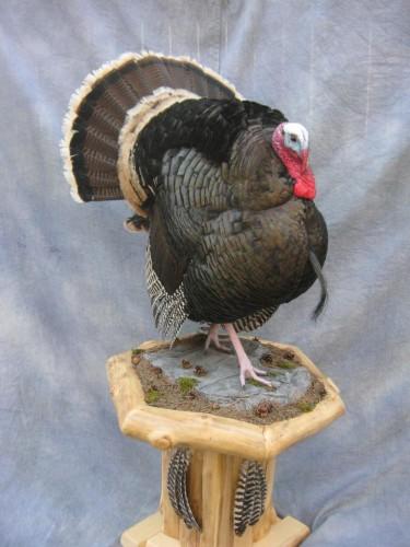 Merriam's wild turkey mount; New Mexico