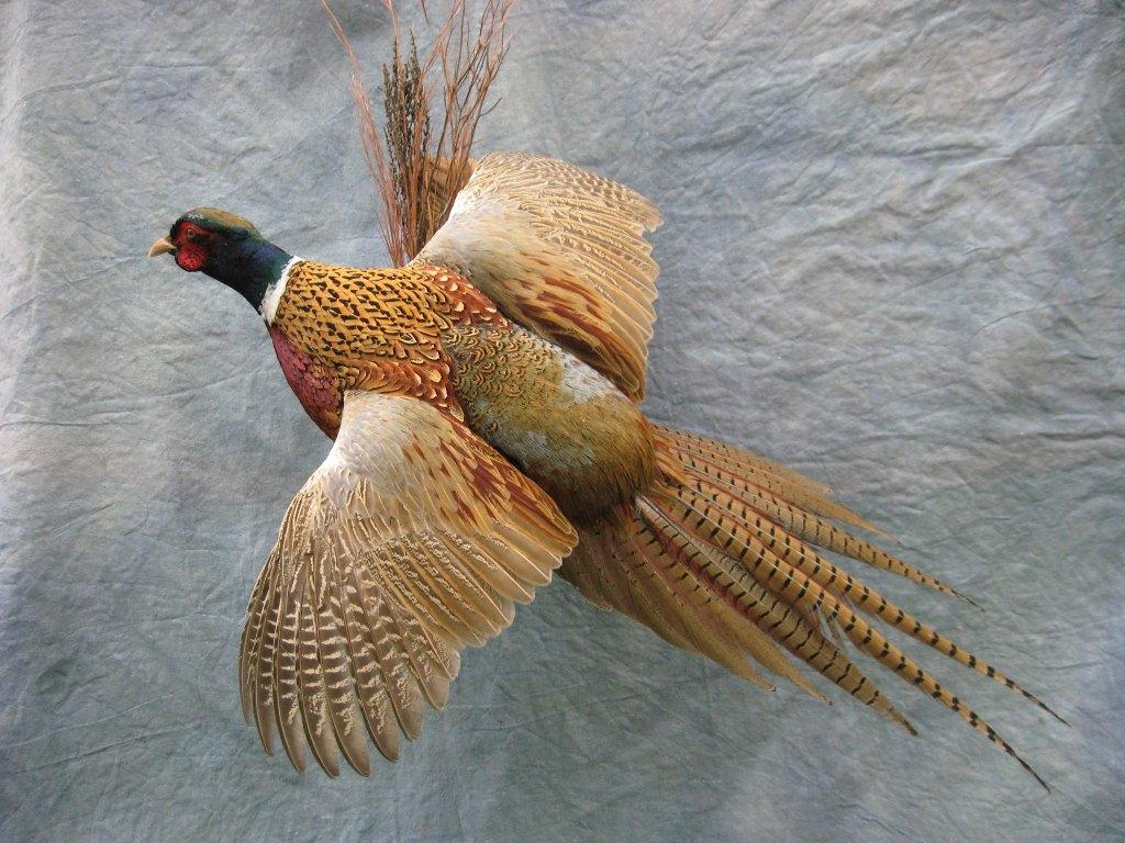Showpiece Taxidermy South Dakota Pheasant Mounts