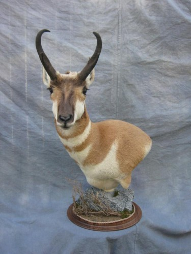 Antelope pedestal game head mount; Pueblo, Colorado
