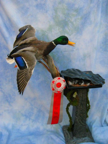 Mallard duck mount; Colorado Taxidermy Competition award winner