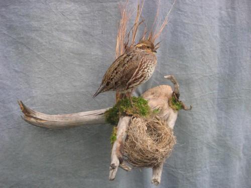 Bobwhite quail hen mount; Denver, Colorado