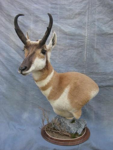 Antelope pedestal game head mount; Pueblo, Colorado