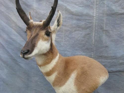 Antelope pedestal mount game head; Pueblo, Colorado