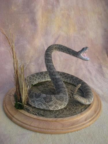 Diamondback rattlesnake mount; Aurora, Colorado
