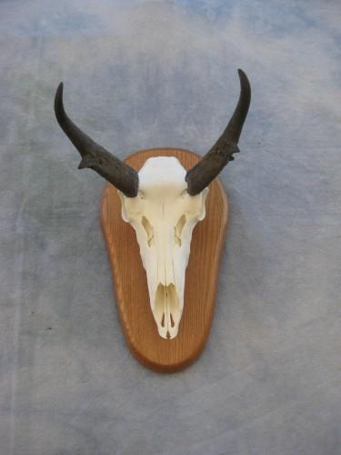 Antelope European skull mount; Grand Junction, Colorado