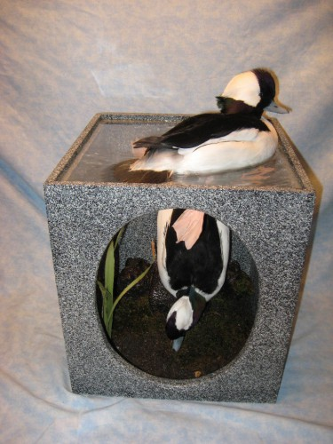 Bufflehead duck mount; Brookings, South Dakota
