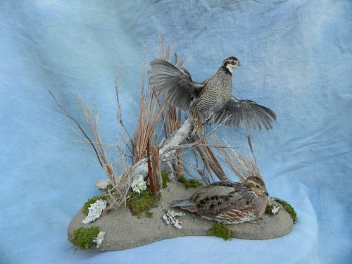 Bobwhite quail mounts; Denver, Colorado