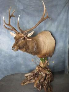Elk pedestal game head mount; Denver, Colorado
