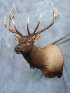 Elk shoulder mount game head; Denver, Colorado