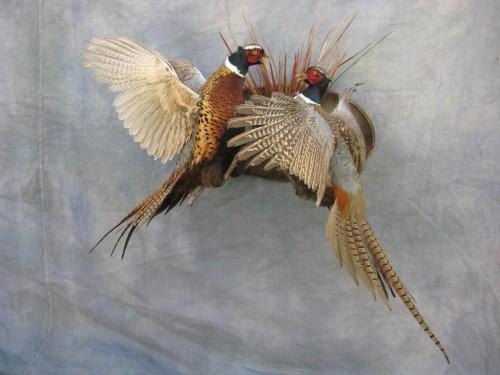Fighting ringneck pheasants mount; Aberdeen, South Dakota