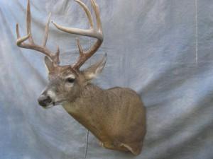 Whitetail deer shoulder mount game head; Kansas