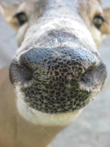 Whitetail deer shoulder mount; Kansas