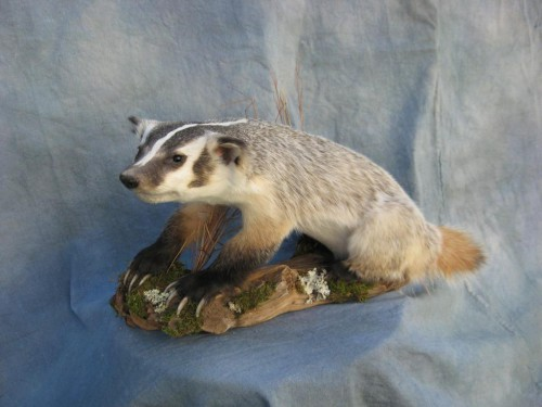 Badger life size mount; Boulder, Colorado