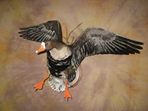 Landing speckle belly goose mount; Saskatchewan, Canada