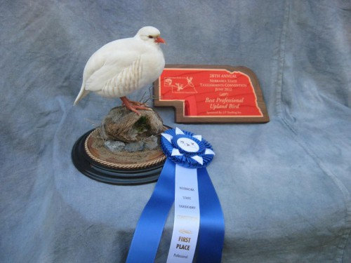 Chukar upland bird mount; Award winner at Nebraska State Taxidermy Competition