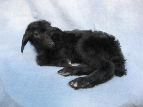 Kid goat mount; pen-raised