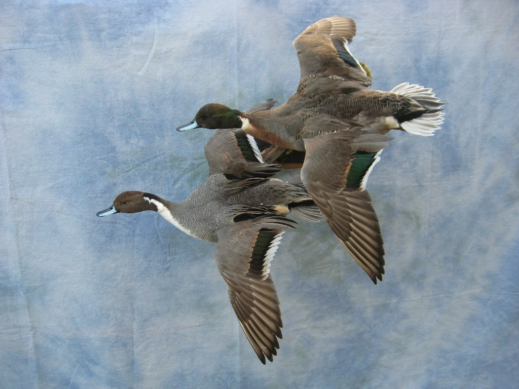 Showpiece Taxidermy Wood Duck Mallard And Pintail Mounts