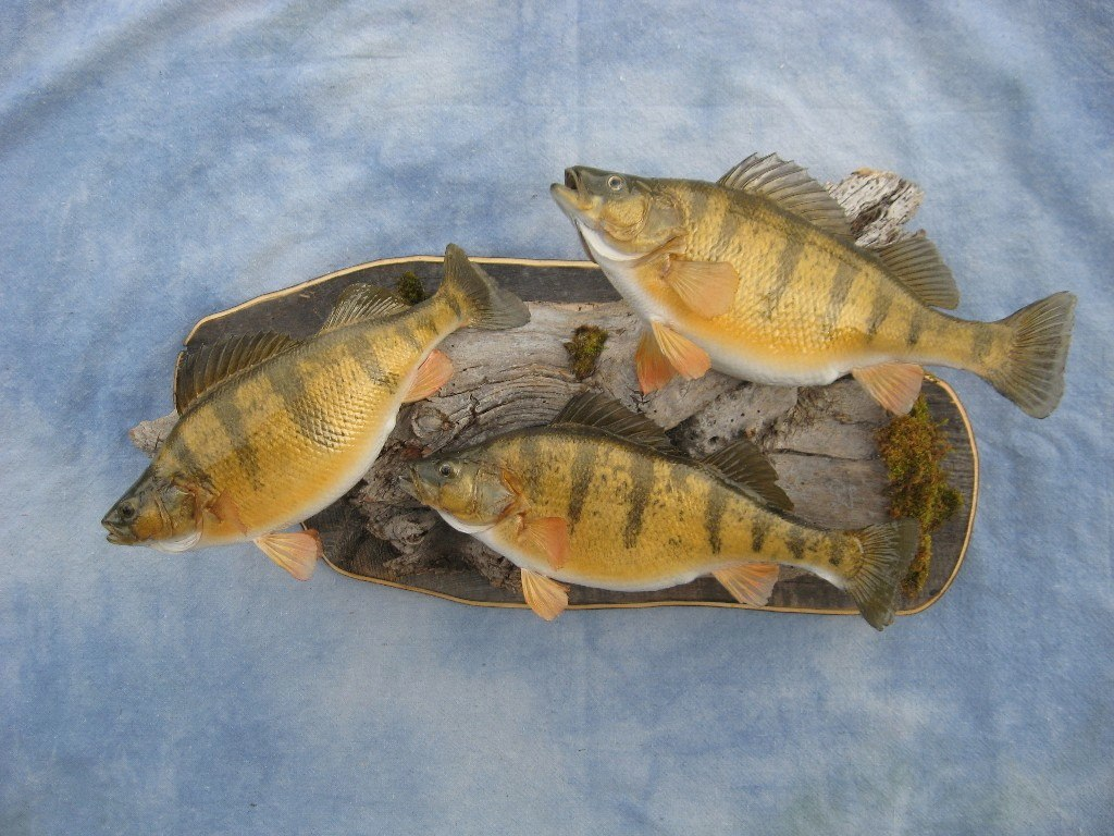 Showpiece taxidermy fish walleye trout crappie mounts for Yellow rainbow fish