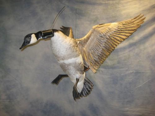 Canada goose mount with radio collar; Montana