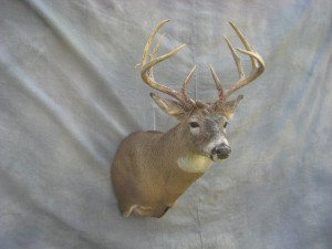 Whitetail deer shoulder mount; Clark, South Dakota