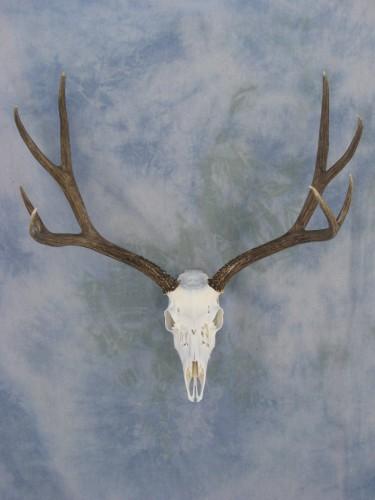 Mule deer European skull mount; Denver, Colorado