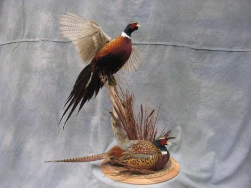Double ringneck pheasant mount; Kansas