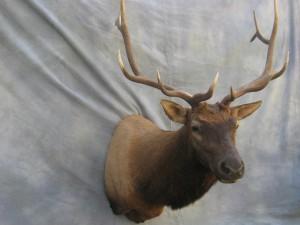Elk shoulder mount game head; Craig, Colorado