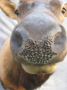Elk shoulder game head mount; Craig, Colorado