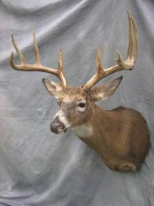 Whitetail deer shoulder mount; Clark, South Dakota