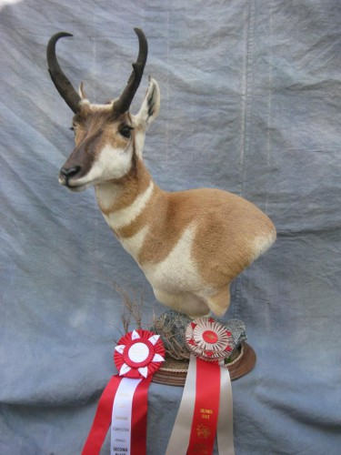 Antelope mount; Award winner at Colorado State Taxidermy Competition