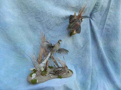 Bobwhite quail mounts; Denver, Colorado