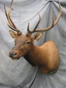 Elk shoulder game head mount; Rocky Mountains, Colorado
