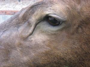 Elk shoulder game head mount - eye; Denver, Colorado