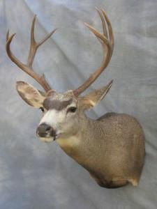 Mule deer shoulder mount game head; Fairplay, Colorado