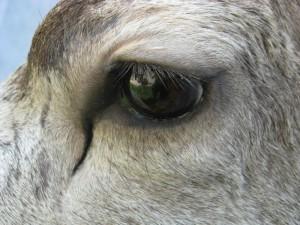 Mule deer shoulder mount - eye closeup; Fairplay, Colorado