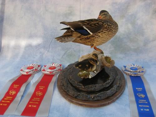 Mallard hen with ducklings mount; Denver, Colorado