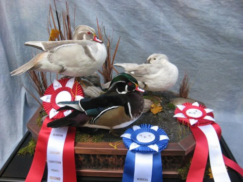 Wood duck trio mount; Award winner in Nebraska